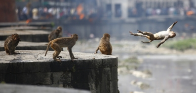 May 26, 2018 - Kathmandu, Nepal - A monkey dives off a high wall on a hot day at Bagmati River inside Pashupathinath Temple in Kathmandu, Nepal. (Credit Image: © Skanda Gautam/ZUMA Wire)