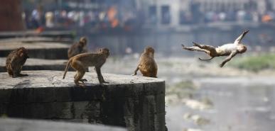 May 26, 2018 - Kathmandu, Nepal - A monkey dives off a high wall on a hot day at Bagmati River inside Pashupathinath Temple in Kathmandu, Nepal. (Credit Image: © Skanda Gautam/ZUMA Wire)